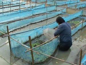 การเลี้ยงกุ้งฝอย