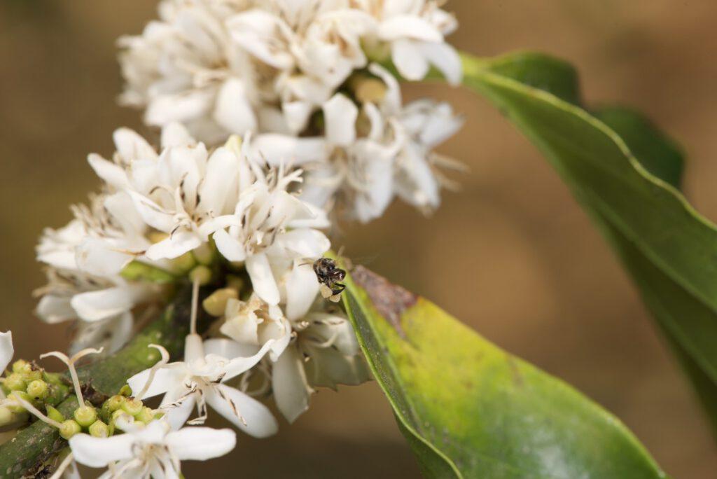 ผึ้งชันโรงออกมาเก็บน้ำหวาน เป็นการผสมเกสรตามธรรมชาติ